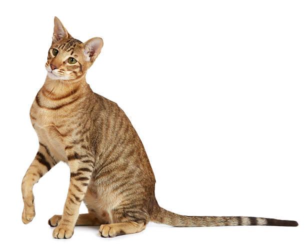 Oriental cat on white background picture id460095591?b=1&k=6&m=460095591&s=612x612&w=0&h=9awxyvarawtumi4urm5p8wpurr8i2b6xljssbup37ha=