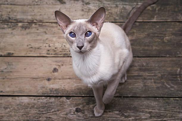 oriental cat - oost stockfoto's en -beelden