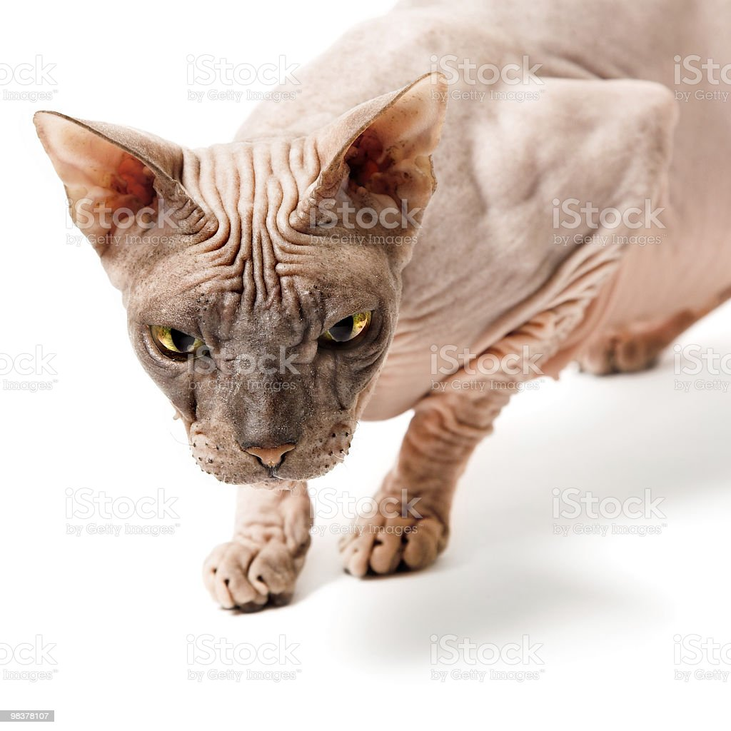 oriental cat royalty-free stock photo