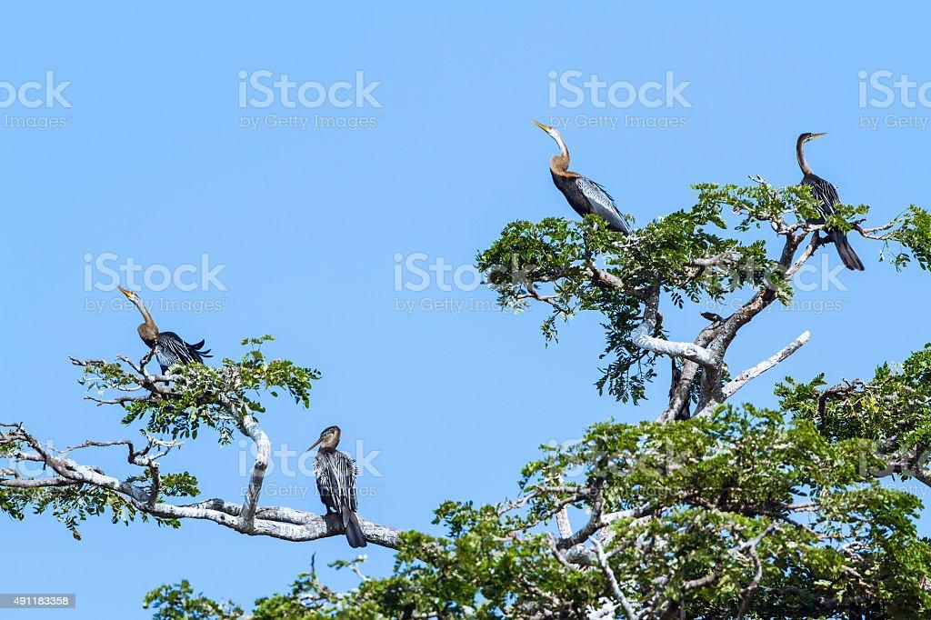 Oriental Darter in Tissa wewa, Sri Lanka stock photo