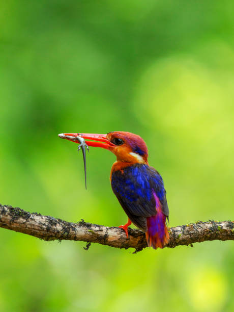 Oriental dwarf kingfisher, Ceyx erithaca with kill, Konkan, Maharashtra, India. Oriental dwarf kingfisher, Ceyx erithaca with kill, Konkan, Maharashtra, India kingfisher stock pictures, royalty-free photos & images