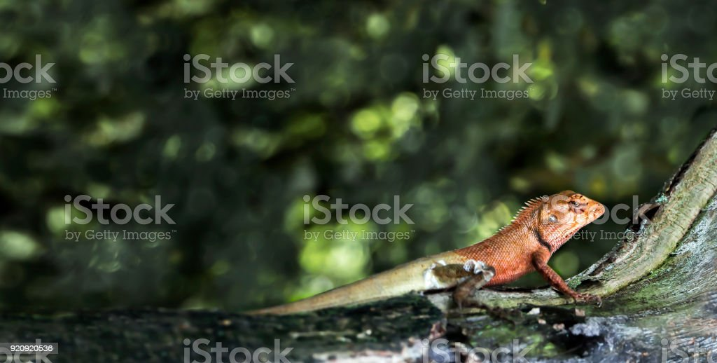 oriental garden lizard or calotes versicolor on the wood in tropical forest asia reptile animals - Oriental Garden
