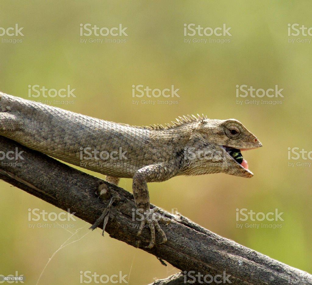 oriental garden lizard stock photo - download image now - istock