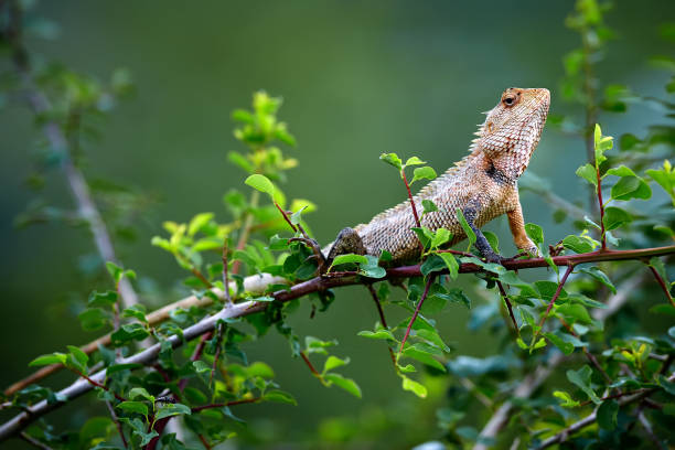 Oriental garden lizard (Calotes versicolor) sitting on a bush and warming up. Wild lizard in Udawalawe National Park, Sri lanka. stock photo