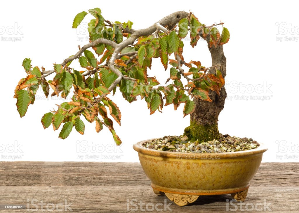 Oriental Hornbeam Bonsai Tree As Half Cascade Stock Photo Download Image Now Istock