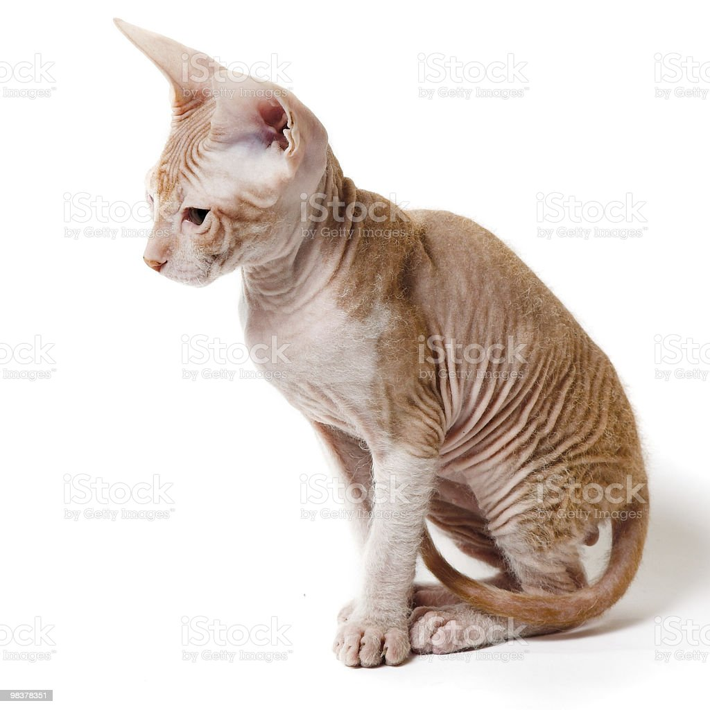 oriental kitten royalty-free stock photo