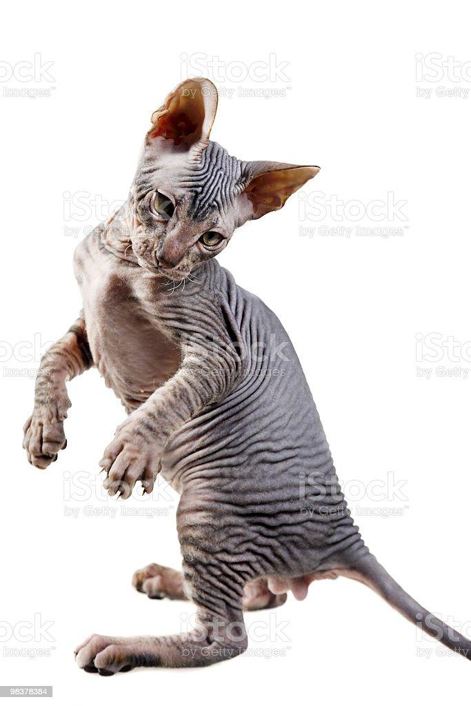 oriental kitten royalty-free stock photo