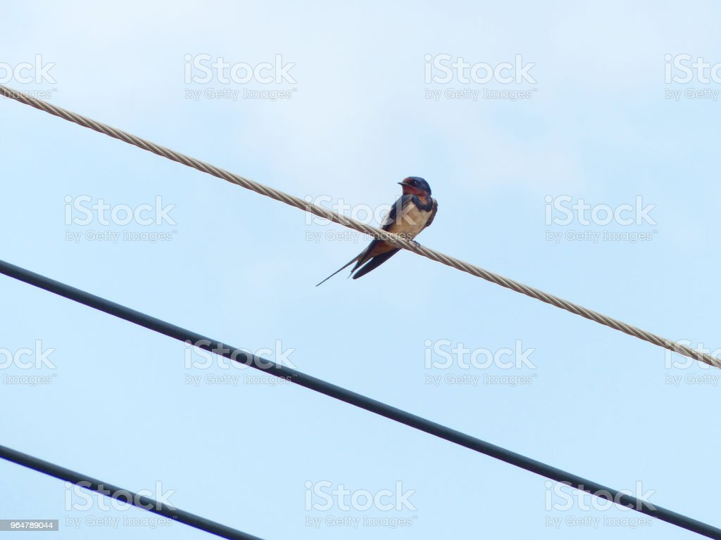 Oriental magpie robin on power lines royalty-free stock photo