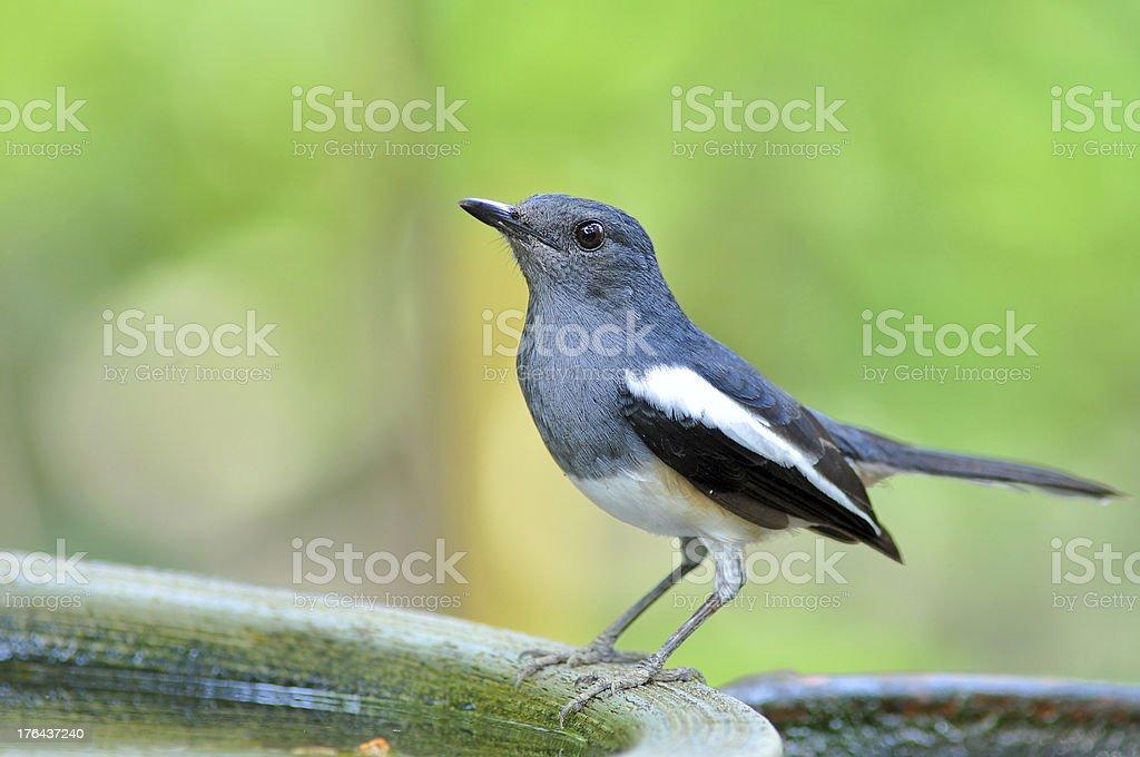Oriental Magpie Robin stock photo