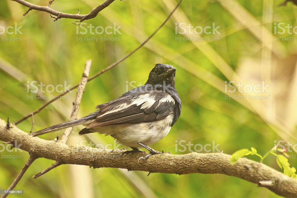 Oriental Magpie Robin royalty-free stock photo