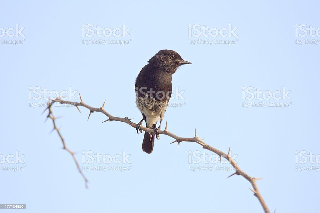 Oriental Magpie-Robin royalty-free stock photo
