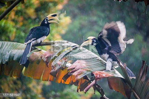 Lifelong mates come rain or shine...oriental pied hornbills at Changi Singapore are a common sight now ever since they were re-introduced in Pulau Ubin, an island to the Northeast of Singapore. This species was extinct in Singapore for nearly 100 years but have since spread widely on mainland Singapore.