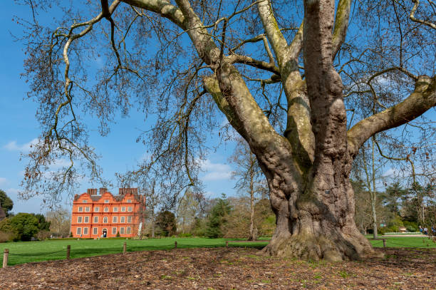 Oriental plane (Platanus orientalis), one of the five oldest trees planted at Kew Gardens since 1762, standing in front of the Dutch House building of Kew Palace stock photo
