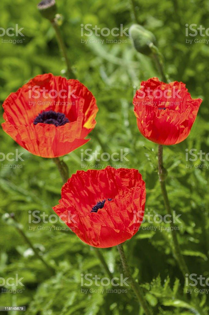 Oriental Poppies royalty-free stock photo