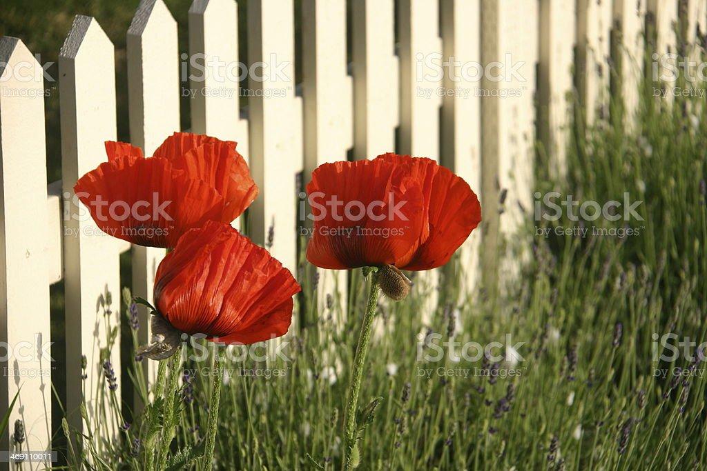 Oriental Poppy and White Fence stock photo