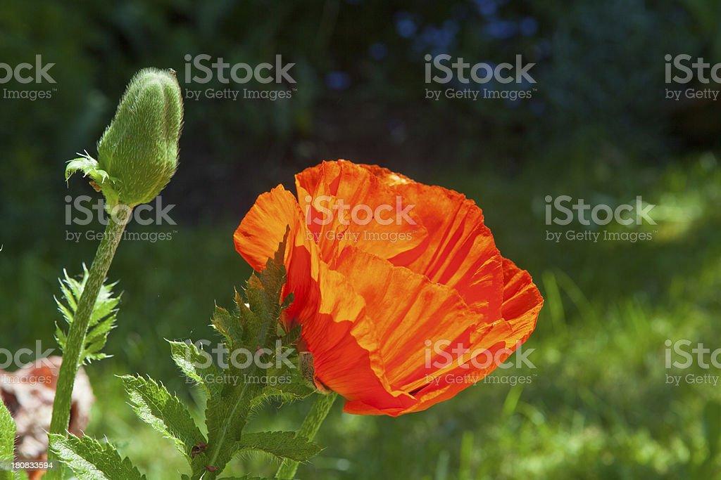 oriental poppy blossom and bud royalty-free stock photo