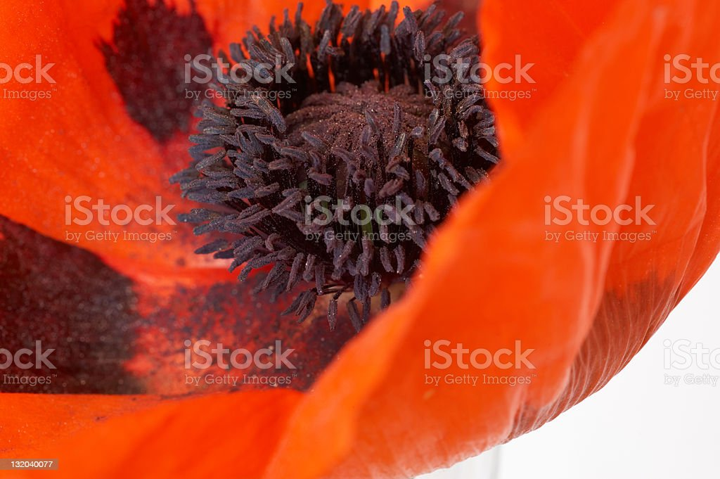 Oriental poppy close up royalty-free stock photo