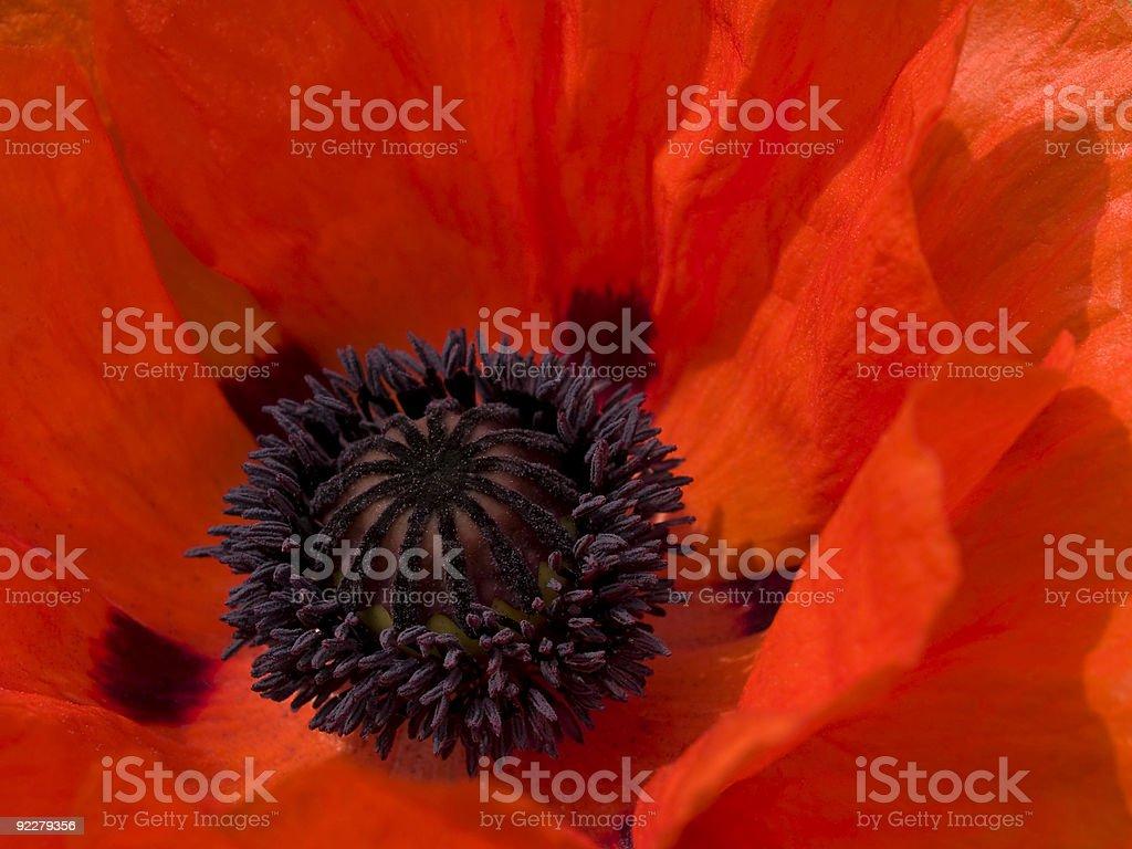 Oriental Poppy Close-up royalty-free stock photo