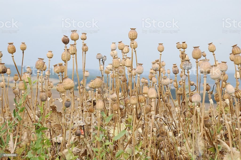 Oriental poppy field royalty-free stock photo