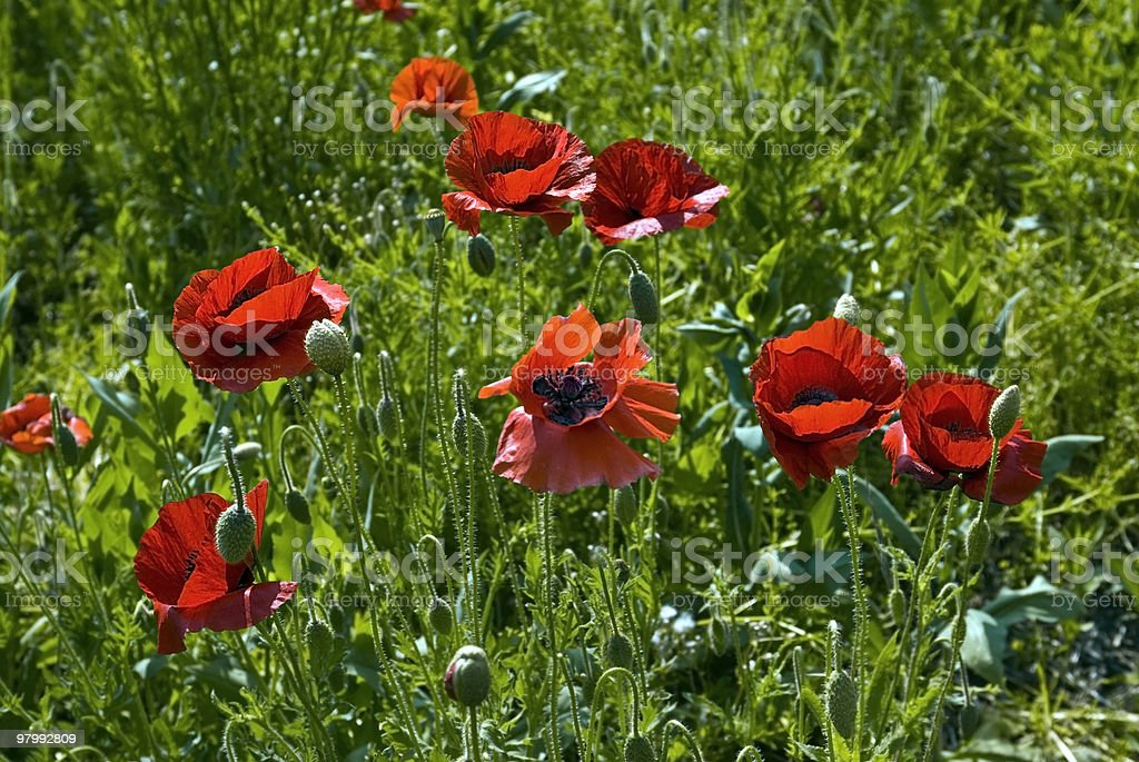 Oriental Poppy field royalty free stockfoto