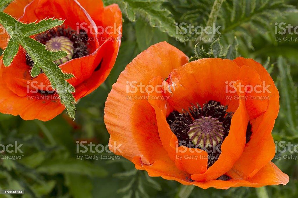 Oriental Poppy in Formal Garden (Papaver orientale) royalty-free stock photo