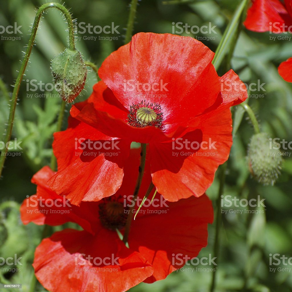 oriental poppy, Papaver orientale royalty-free stock photo
