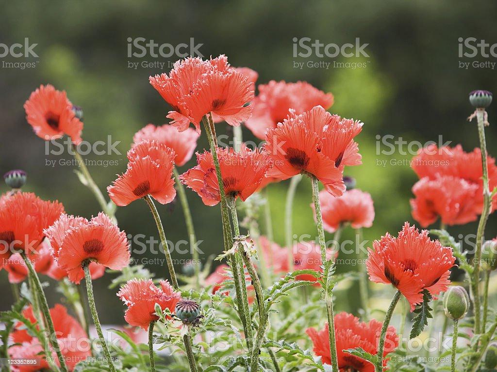 Oriental poppy royalty-free stock photo