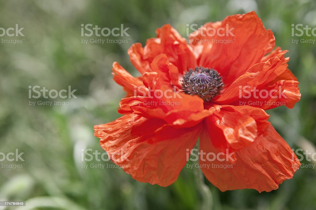 Oriental Poppy royalty-free stock photo