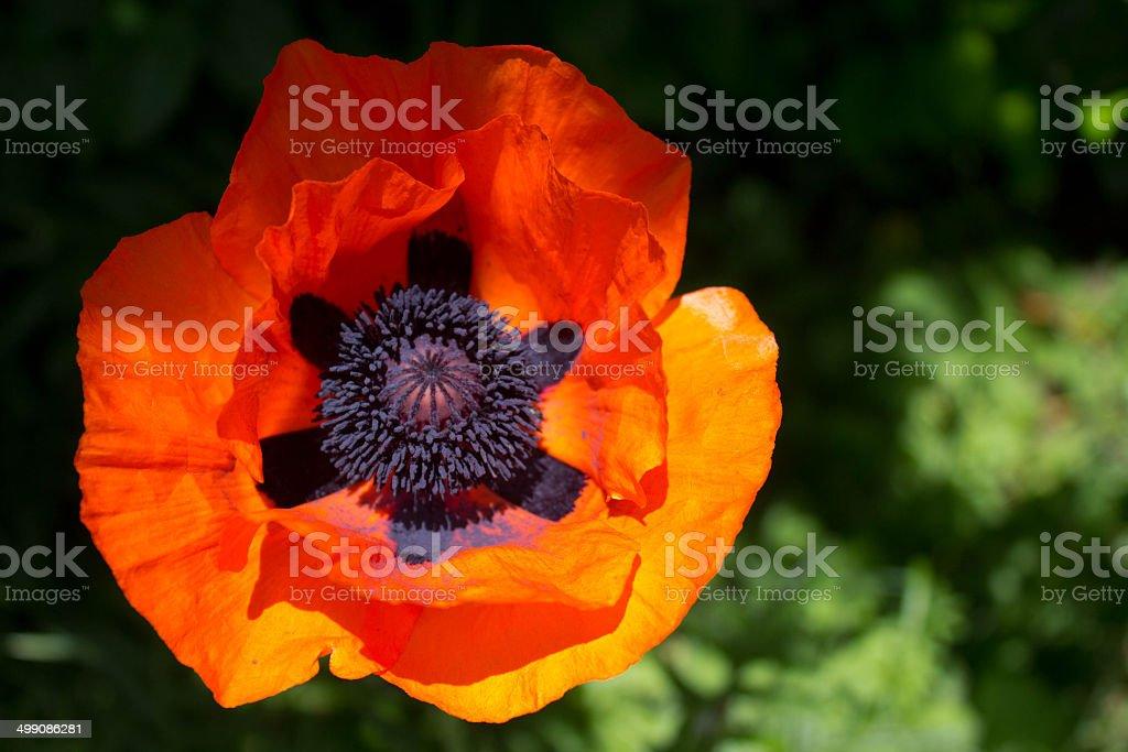 Oriental Poppy stock photo