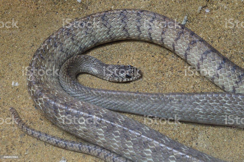 Oriental rat snake stock photo