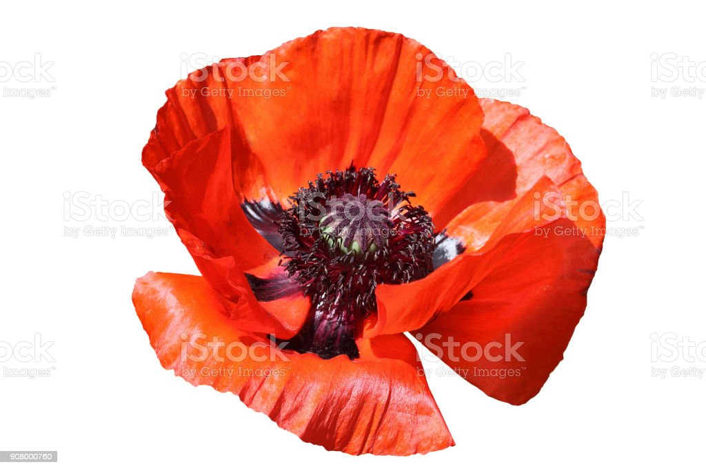 Oriental red poppy stock photo