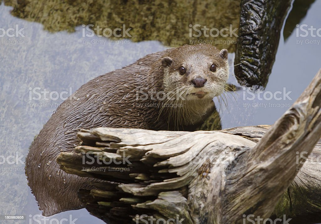 Oriental Short-Clawed Otter (amblonyx cinereus) swimming royalty-free stock photo