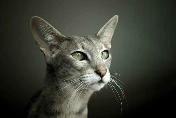 Oriental Shorthair Cat stock photo