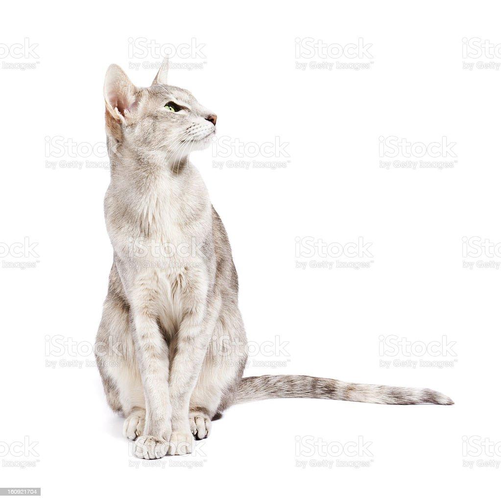 Oriental Shorthair Cat Stock Photo Download Image Now Istock