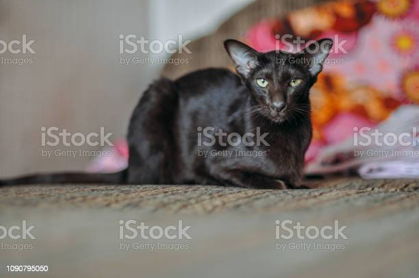 Oriental shorthair cat sits at home picture id1090795050?b=1&k=6&m=1090795050&s=612x612&h=qwn2 dybymbq8js  ergik6iuyoc91v0dhx6rpr dw0=