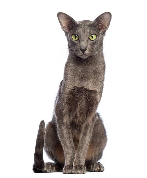 Krótkowłosy Kot Orientalny Zdjęcia I Ilustracje Istock