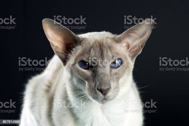 Oriental siamese cat blue eyes sitting black background picture id657914560?b=1&k=6&m=657914560&s=612x612&h=bkj o8u5qsyydbqcvsmmwxigulyvnbweicf 5ahkmzy=