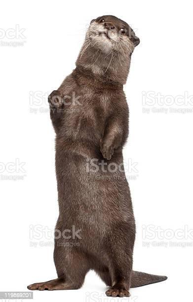Oriental smallclawed otter amblonyx cinereus standing white picture id119869201?b=1&k=6&m=119869201&s=612x612&h=jtz1lmd2qmasgxyympvtgxjoyynm8ydfshqlzsmepxk=