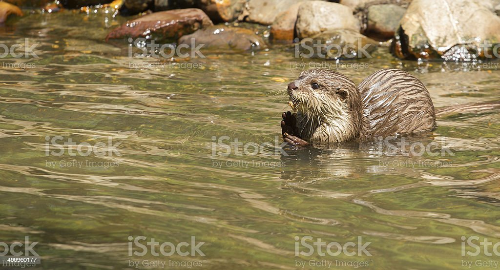 Oriental Small-Clawed Otter foraging stock photo