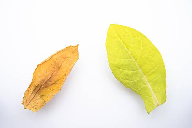 Oriental tobacco leaves stock photo