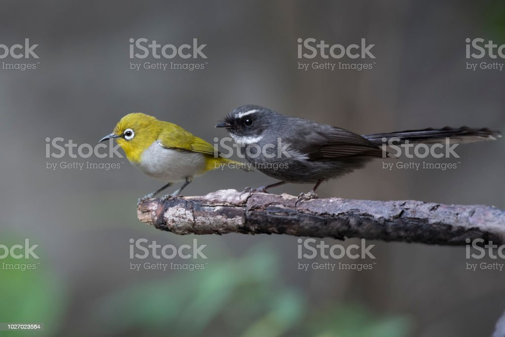 8be933b94fe Oriental Whiteeye And Fantail Stock Photo   More Pictures of Animal ...