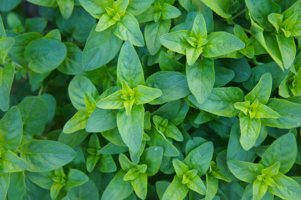 Origanum vulgare compactum or oregano green herb Origanum vulgare compactum or oregano green herb oregano stock pictures, royalty-free photos & images