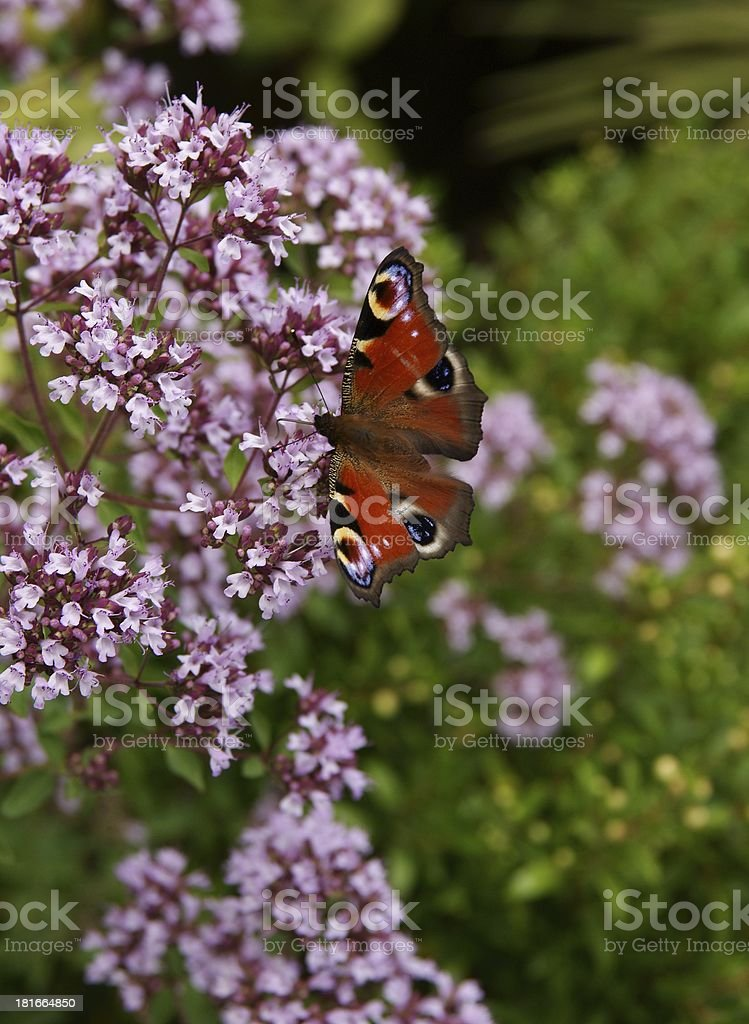 origanum vulgare plant with lila flowers and butterfly royalty-free stock photo