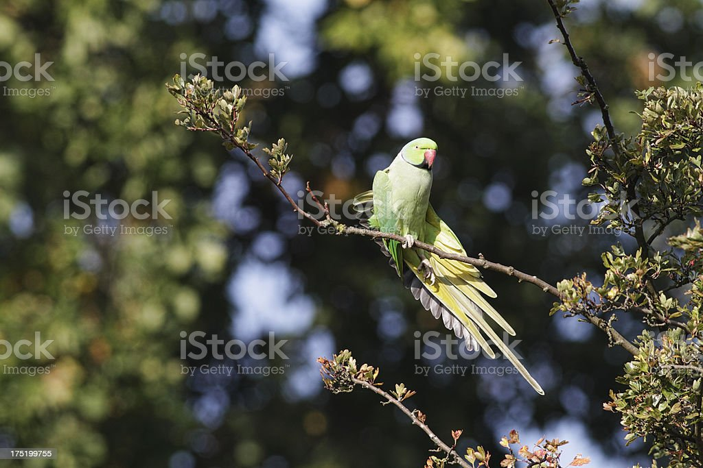 Rose-ringed parakeet Psittacula krameri stretching wing royalty-free stock photo