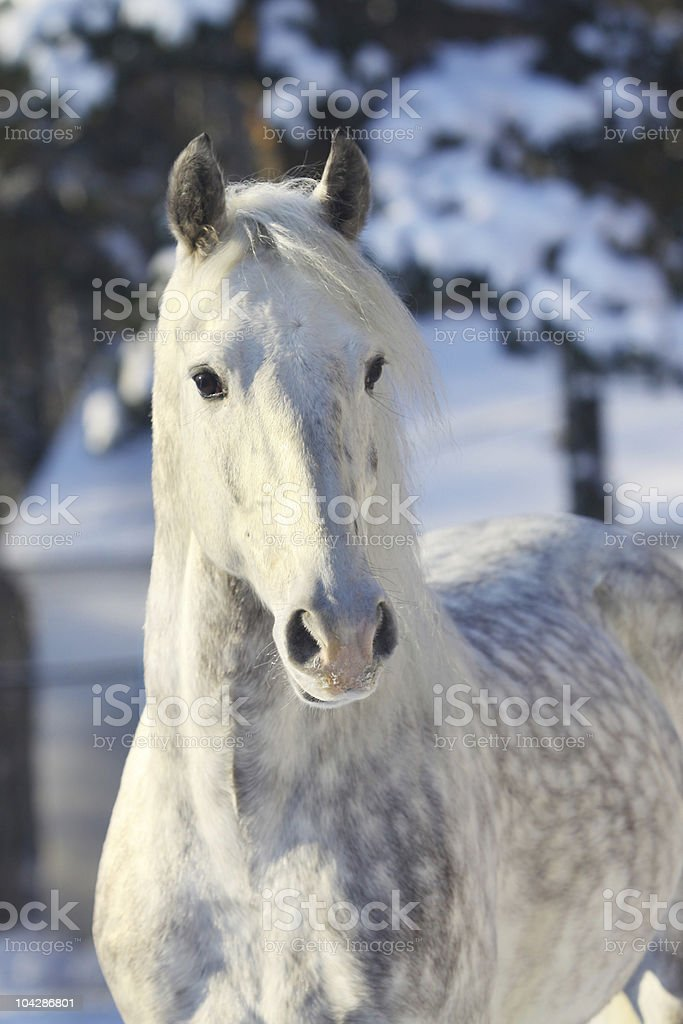 orlov trotter stock photo
