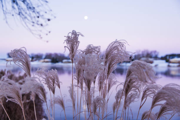 ornamental american high grasses and moon rise at dawn - miscanthus sinensis foto e immagini stock