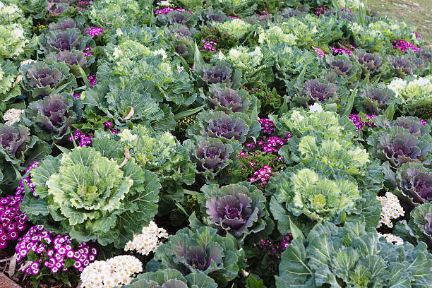 Ornamental cabbage in garden stock photo