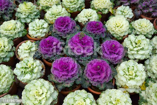 flowers that look like cabbage heads are known as ornamental cabbages, Brassica oleracea. There are actually rosettes of colourful foliage that highlight fall and winter landscapes. Also known as flowering kale is bred mostly for its aesthetics and not its taste.