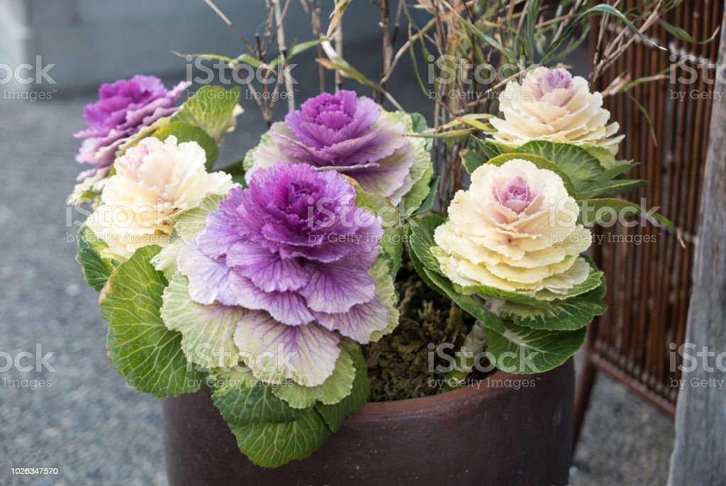 Ornamental Cabbages In Pot Takayama Japan Stock Photo Download