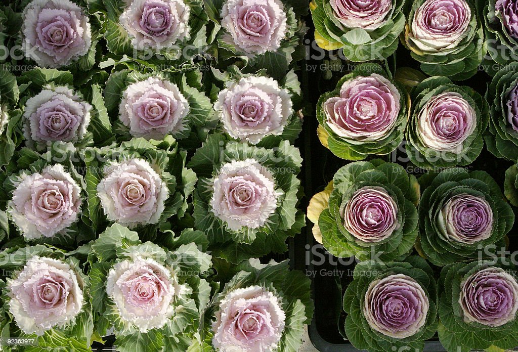 Indisches cabbages Lizenzfreies stock-foto
